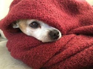 Chihuahua keeping warm in a blanket.