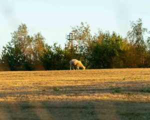 Sheep in field in Kent eating grass.
